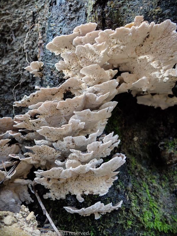 A white bracket fungus growing on tree bark
